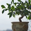 Ficus tree as a bonzai plant — Stock Photo