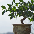Stock Photo: Ficus tree as bonzai plant