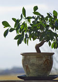 Ficus tree as a bonzai plant — Stock Photo