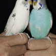 Two parakeets held close — Stock fotografie