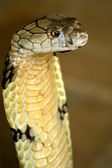 King cobra — Stock Photo