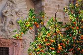 Orange tree in the city — Stock Photo