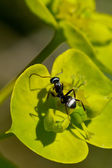 Ant on Leaf — Stock Photo