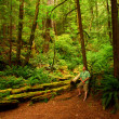 Man in Redwood Forest — Stock Photo