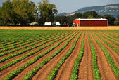 Cultures plantées conduisant à la grange rouge — Photo