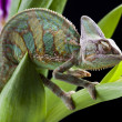 Chameleon on flower — Stock Photo