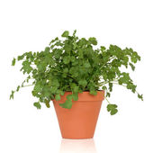 Coriander Herb Plant — Stock Photo
