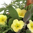 Stock Photo: Primrose Flowers and Herbs