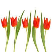 Red tulip flower beauty — Stockfoto