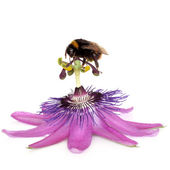 Passion Flower and Bumblebee — Stock Photo