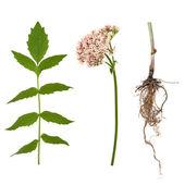 Flor, raiz e folhas de valeriana — Fotografia Stock