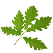 Oak Leaf Sprig — Stock Photo
