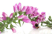 Bee and Foxglove Flowers — Stock Photo