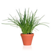 Chive Herb Plant — Stock Photo
