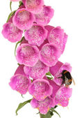 Bee and Foxglove Flower — Stock Photo
