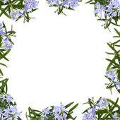 Rosemary Herb Flower Border — Stock Photo