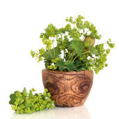 Ladys Mantle Herb — Stock Photo