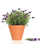 Lavender Herb Flowers and Bumble Bee — Stock Photo