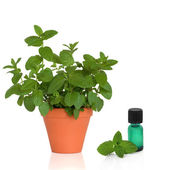 Mint Herb and Essence — Stock Photo