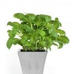 Basil Herb — Stock Photo #2035318