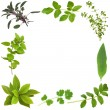Herb Leaf Border — Stock Photo