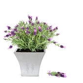 Lavender Herb Plant — Stock Photo