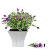 Lavender Herb and Bumblebee — Stock Photo