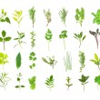 Large Herb Leaf Selection - Stock Photo