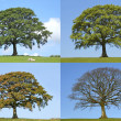 Oak Tree Four Seasons — Stock Photo