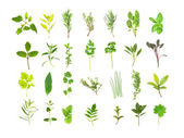 Large Herb Leaf Selection — Stock Photo