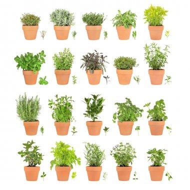 Twenty Herbs in Pots with Leaf Sprigs