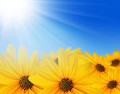 Yellow flowers in sun — Stock Photo