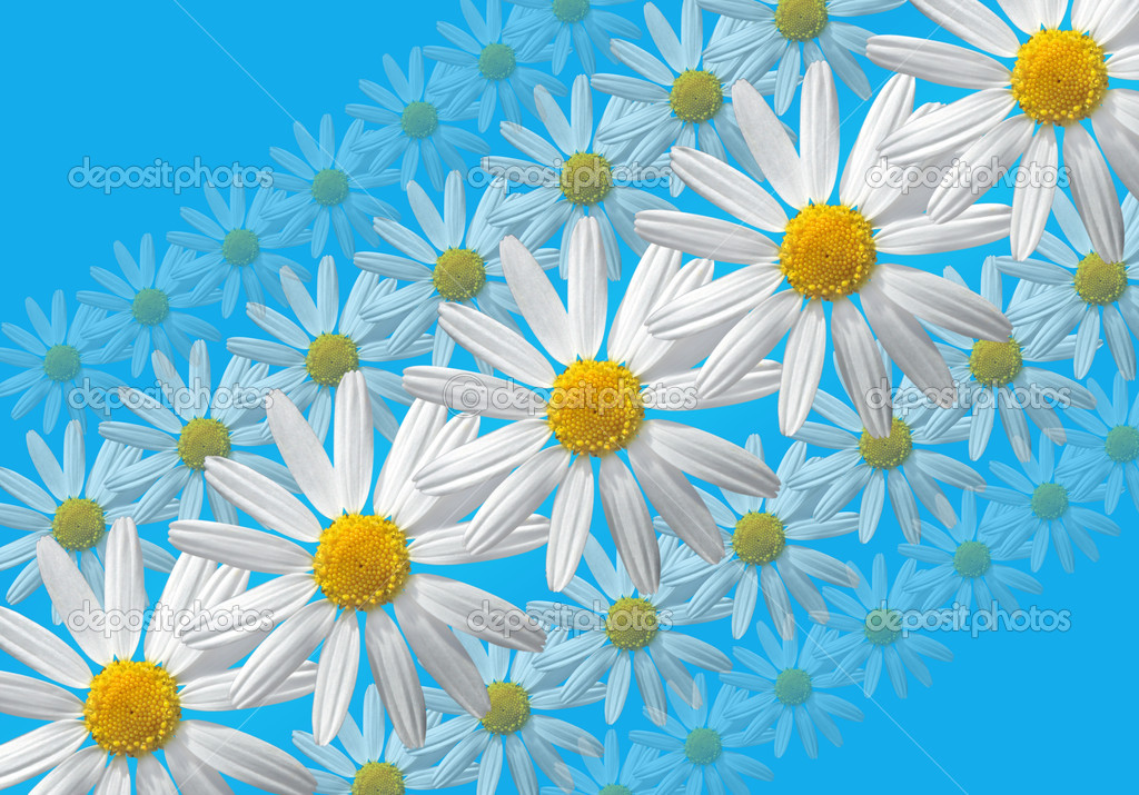 White marguerite flowers pattern on blue background   Stock Photo #2004582