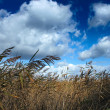 Reeds at wind — Stock Photo #2013711