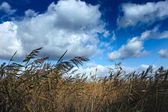 Reeds at wind — Stock Photo