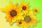 Yellow marguerite — Stock Photo
