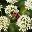 Beetle on a flower — Stock Photo #2260431