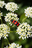 Beetle on a flower — Stock Photo