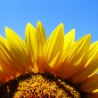 Sunflower against blue sky — Stock Photo