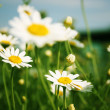 Royalty-Free Stock Photo: Daisies spring field