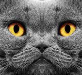 Gatto british capelli corti — Foto Stock