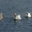 Domestic geese — Stock Photo #2012187