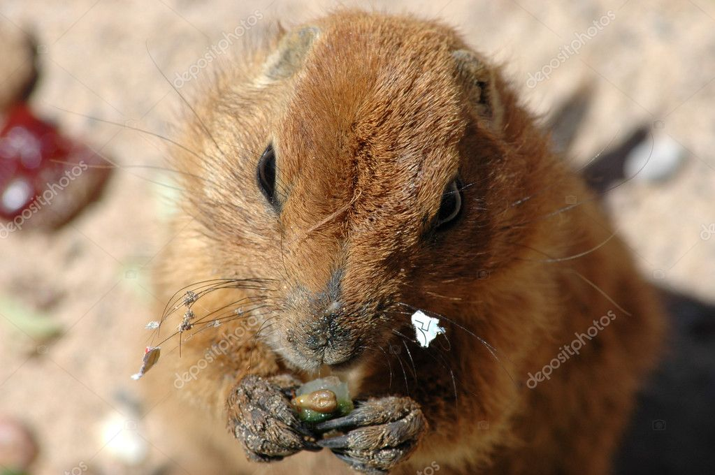 Prairie dog also known as a gopher — Stock Photo #2012400