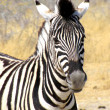 Zebra — Stock Photo #1935267