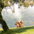 Gelada baboons — Stock Photo #1987029