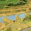 Terrace rice fields — Stock Photo