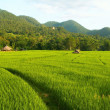 Rice field — Stock Photo #1990586
