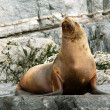 Sea lion — Foto de Stock