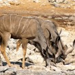 Kudu - Stock Photo