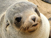 Young seal — Stock Photo